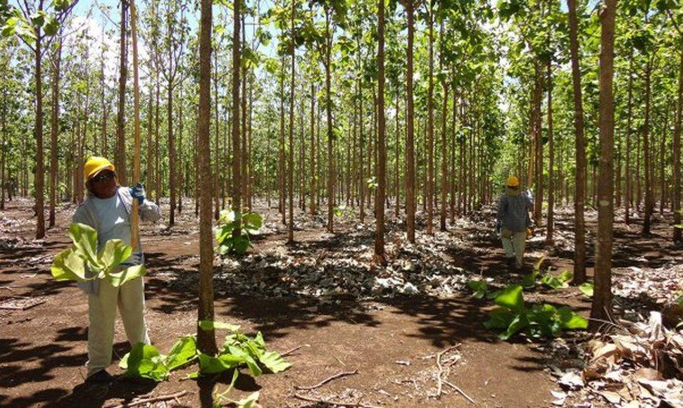 Crisis sociopolítica impacta al sector forestal y ahuyenta a los inversionistas internacionales. Foto: El Nuevo Diario