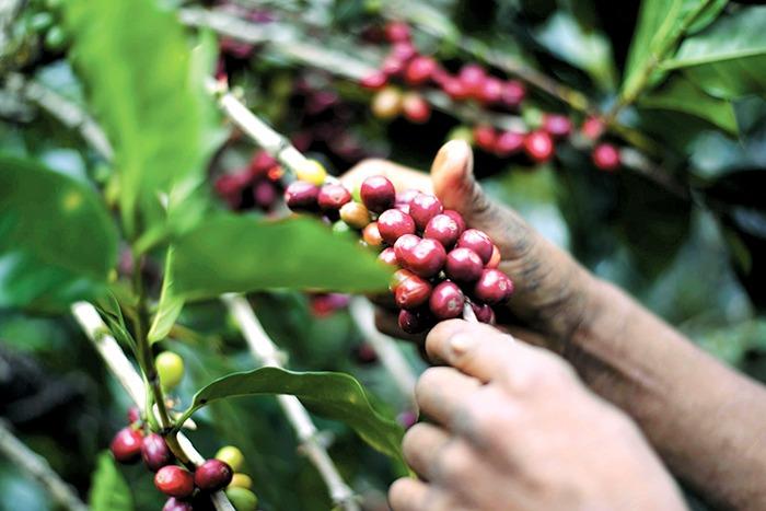 Caficultores Nicaragüenses registran disminución en la exportación del café