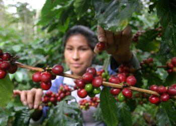 Cafetaleros proyectan producir más de 3 millones de quintales. Foto: EFE.