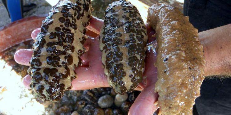 Eliminan veda al pepino de mar, bendición o maldición para los caribeños. Foto: Tomada de internet