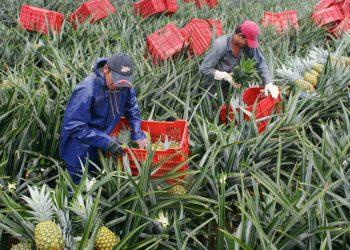 Costa Rica renueva plan para ingreso de trabajadores agrícolas nicaragüenses