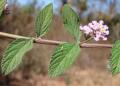 Planta de Salvia podría contrarrestar células cancerosas